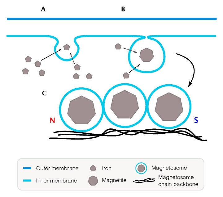 Figure 2 Magnetotactic bacteria form magnetosomes by pumping iron ions into membrane compartments and forming crystals. Once formed, the magnetosome is fixed into a chain.