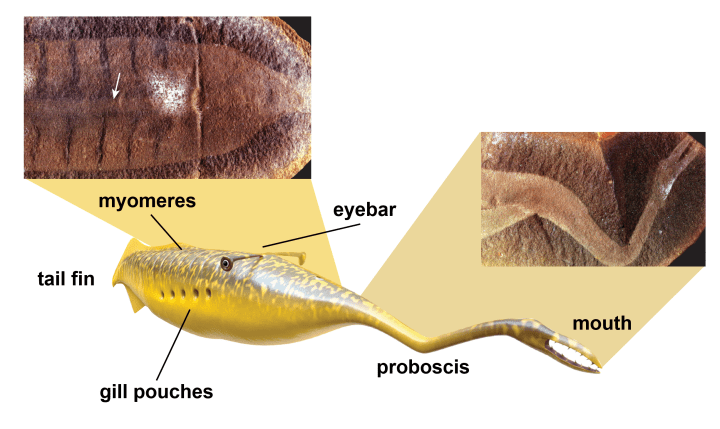 Figure 1: An artist's impression of the Tully monster and some of the fossil evidence showing its unusual features.