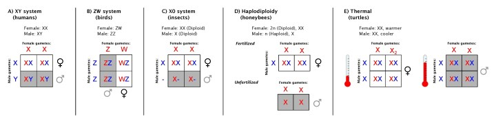 Figure 1: Five (of many) sex determination systems. A. XY system In humans, females are XX and males are XY. B. ZW system In birds, females are ZW and males are ZZ. C. XO system In insects, females have two sex chromosomes, but males have only one sex chromosome (while retaining two copies of all non-sex chromosomes). D. Haplodiploidy In honeybees, females again have two sex chromosomes while males have one, but in this case, males have only one copy of every chromosome. E. Thermal regulation In some reptiles, the temperature of the surrounding environment determines the sex of the offspring.