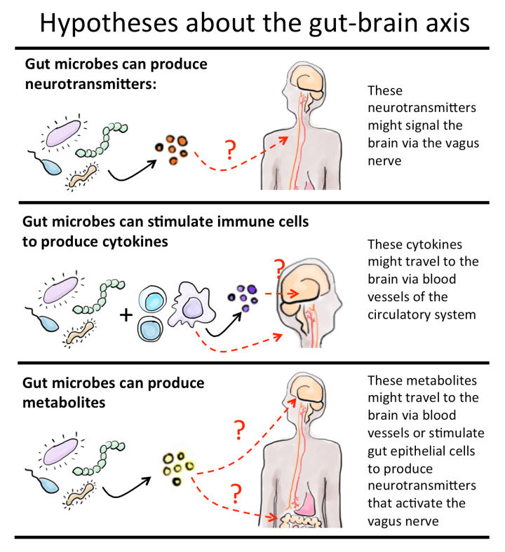 Figure 3: Three hypotheses for how microbes in the gut may talk to neurons in the brain. 1. Gut microbes can produce neurotransmitters, such as serotonin. Serotonin may allow signaling from the gut to brain via the vagus nerve. 2. Gut microbes may also stimulate immune cells to produce cytokines that could travel through the blood to the brain. 3. Gut microbes produce metabolites that when released could travel through the blood or stimulate the vagus nerve to send important messages to the brain.