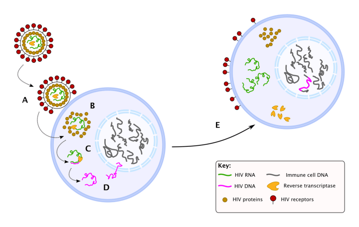Figure 1: The HIV lifecycle. A. HIV binds to the surface of an immune cell. B. HIV tricks the cell into letting it inside, allowing the viral RNA and protein to spill into the inside of the cell. C. The viral protein reverse transcriptase converts the HIV RNA to DNA. D. Viral DNA is incorporated into the immune cell DNA. E. Infected cells read viral DNA as if it were their own and produce HIV RNA and proteins. These are used for the manufacture of new viruses.