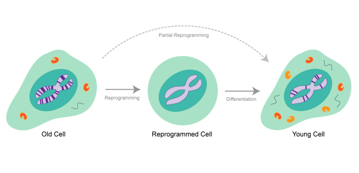 "Scientists have successfully reprogrammed old cells to stem cells, and then differentiated these stem cells back to their tissues of origin. These reprogrammed cells have the characteristics of young cells, which suggests that the characteristics of aging can be reversed. ""Partial reprogramming"" would be ideal for combating aging, in which old cells are converted directly to young cells without a stem cell intermediate."