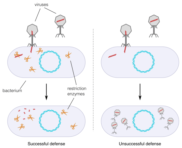 Figure 1. The discovery of restriction enzymes. Scientists had observed that some strains of E. coli bacteria were resistant to infection by certain strains of bacteriophage, and that some were not. They discovered that resistance occurred when the bacteria (grey ovals) possessed restriction enzymes (orange scissors), which recognize bacteriophage DNA (red) and cut it up. When bacteriophage DNA is intact, it provides instructions for the production of new bacteriophages (right side, unsuccessful defense). When the DNA is cut up, bacteria are not infected (left side, successful defense).