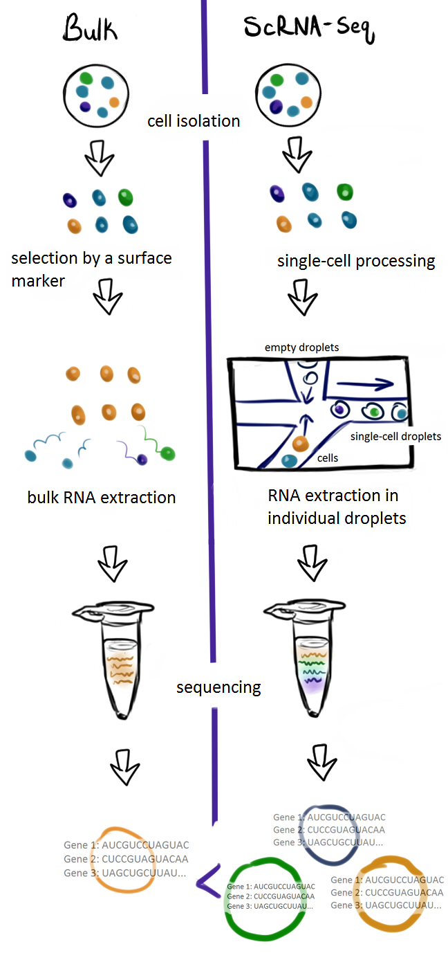 Figure 1: Traditionally, bulk analysis requires choosing a certain kind of cell from a sample and using labels that bind its unique surface markers to filter it out. Once these cells have been sorted, their RNA is extracted and pooled together for bulk sequencing, giving only a population-level readout of which genes are undergoing transcription. In contrast, scRNA-seq can be performed on unsorted cells of multiple types. These cells don't need to be sorted by labels and are simply placed into individual droplets by a machine that passes cells one-by-one through microscopic tubes. Each cell's RNA is uniquely tagged by coded reagents that are added to each droplet, so that when all of the genetic information is pooled together, scientists can see which genes belong to which cells.