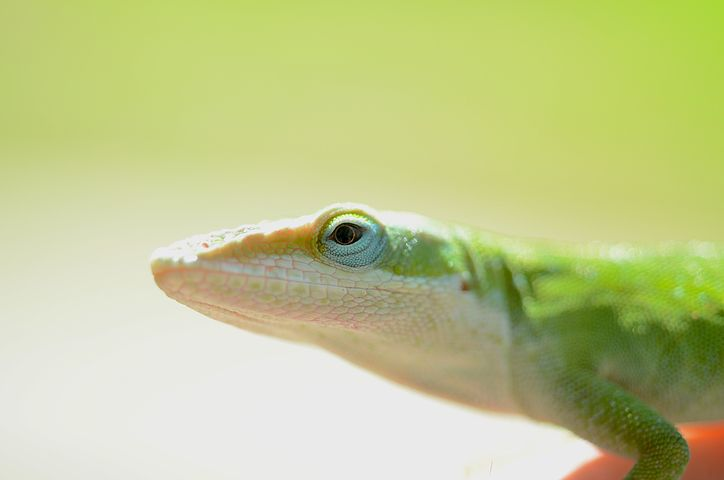 A profile view of a green lizard on a graded green to white background