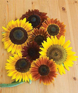 Fall Sunflowers Wallpaper Autumn Beauty Mix Organic Sunflower Seeds And Plants