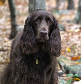 Robbie is a Field Spaniel in upstate New York.