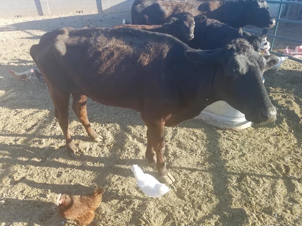 underweight cow