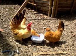 Cara Memelihara Ayam Kate  AYAM HIASKU