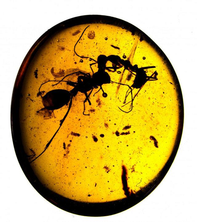 Fosil Semut Paling Unik yang Pernah Ditemukan