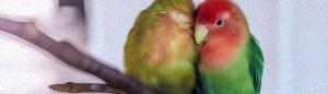 snuggling parrots
