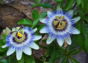Restoring Intimacy Passion Flower
