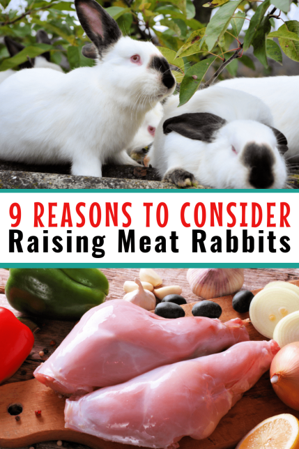Raising meat rabbits is one of the most economical and healthy meats you can raise. Rabbit meat is lean, cheap and so much more. For those on the fence, these nine reasons to raise meat rabbits can help you make your final decision.