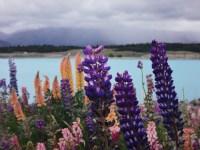 Colorful lavenders
