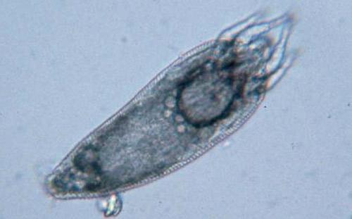 Eriophyid Mite