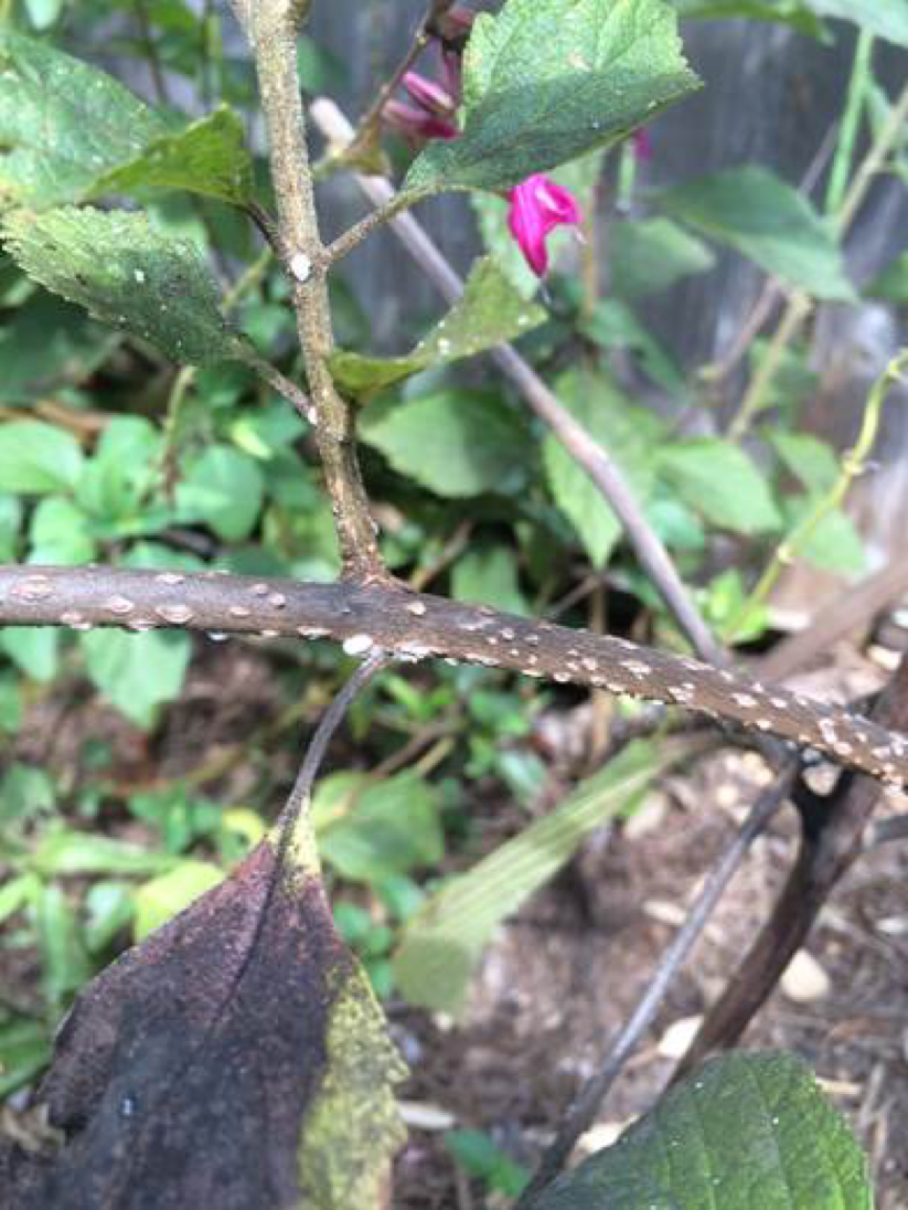 Crapemyrtle bark scale on beautyberry