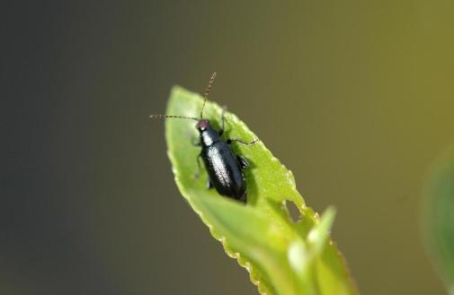 Figure 13. Red-headed Flea Beetle adult. Photo: Brian Kunkel, University of Delaware, Bugwood.org