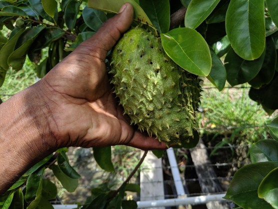 Soursop with exit holes from the fruit