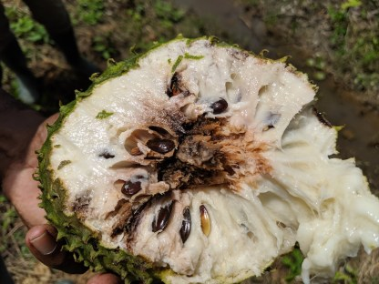 Soursop fruit seed damaged by the soursop seed borer