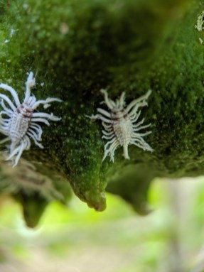 Closeup of breadfruit mealybug on soursop fruit