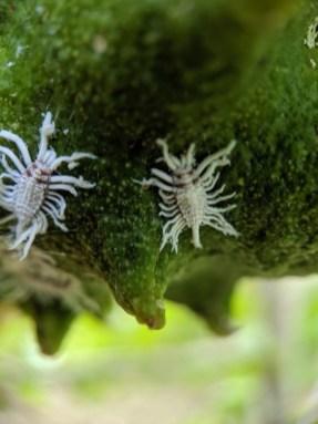 Closeup of breadfruit mealybug on soursop fruit