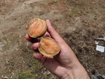 Sapodilla - I think my new favorite fruit. Texture of persimmon but really sweet, small and easy to eat.