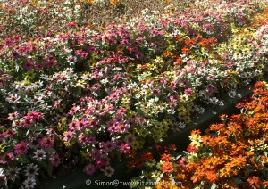 A Profusion of Daisies