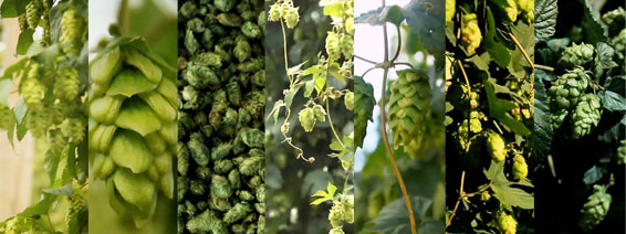 Collage of Hops