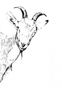 GoatPeeking