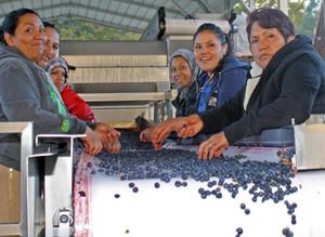 Sorting grapes at Six Sigma Winery