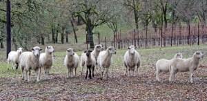 Sheep in the vineyard at Six Sigma Ranch