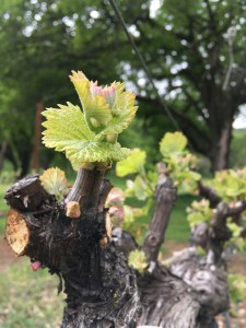 Pruning Grapevines 101 Six Sigma