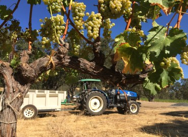 Sauvignon Blanc Grapes in Six Sigma's Lake County Vineyard Ready for Harvest!