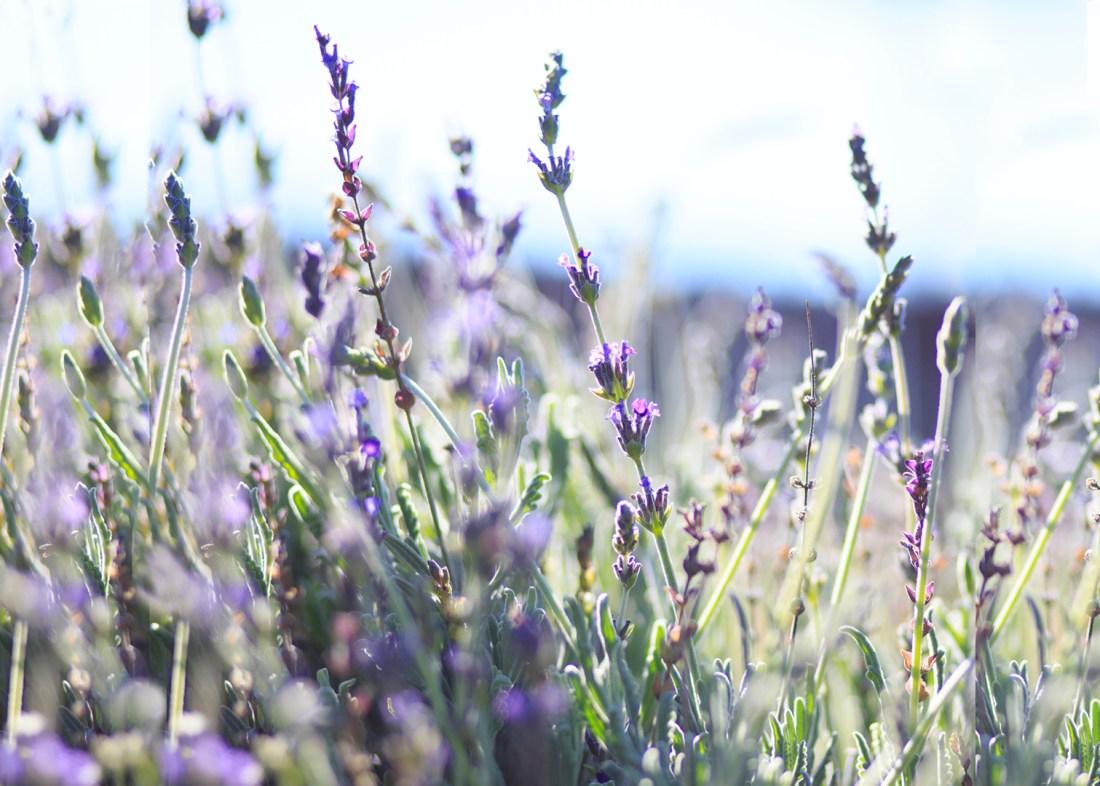 Lavender 1 sm