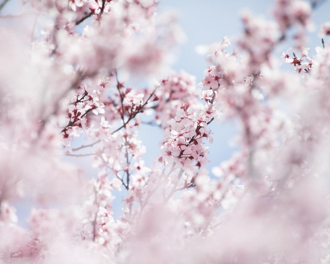 Spring Blossoms 2018-1