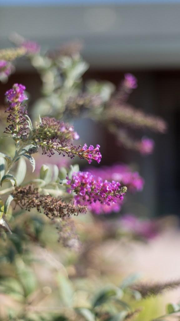 Butterfly Bush August 16 2018-17-1