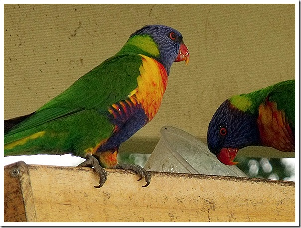 RAINBOW LORIKEETS OUT THE BACK