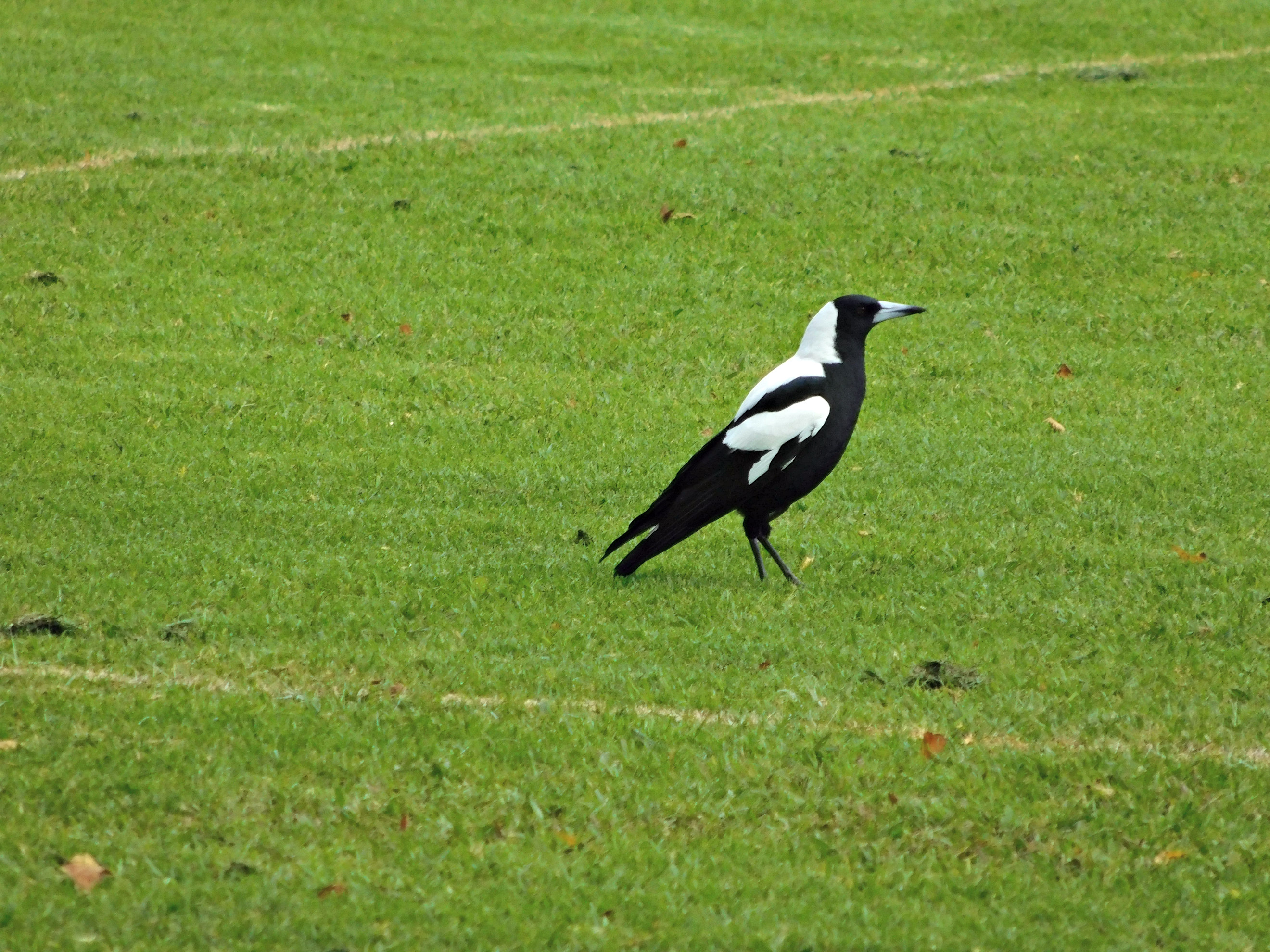 A MAGPIE IN BEGA