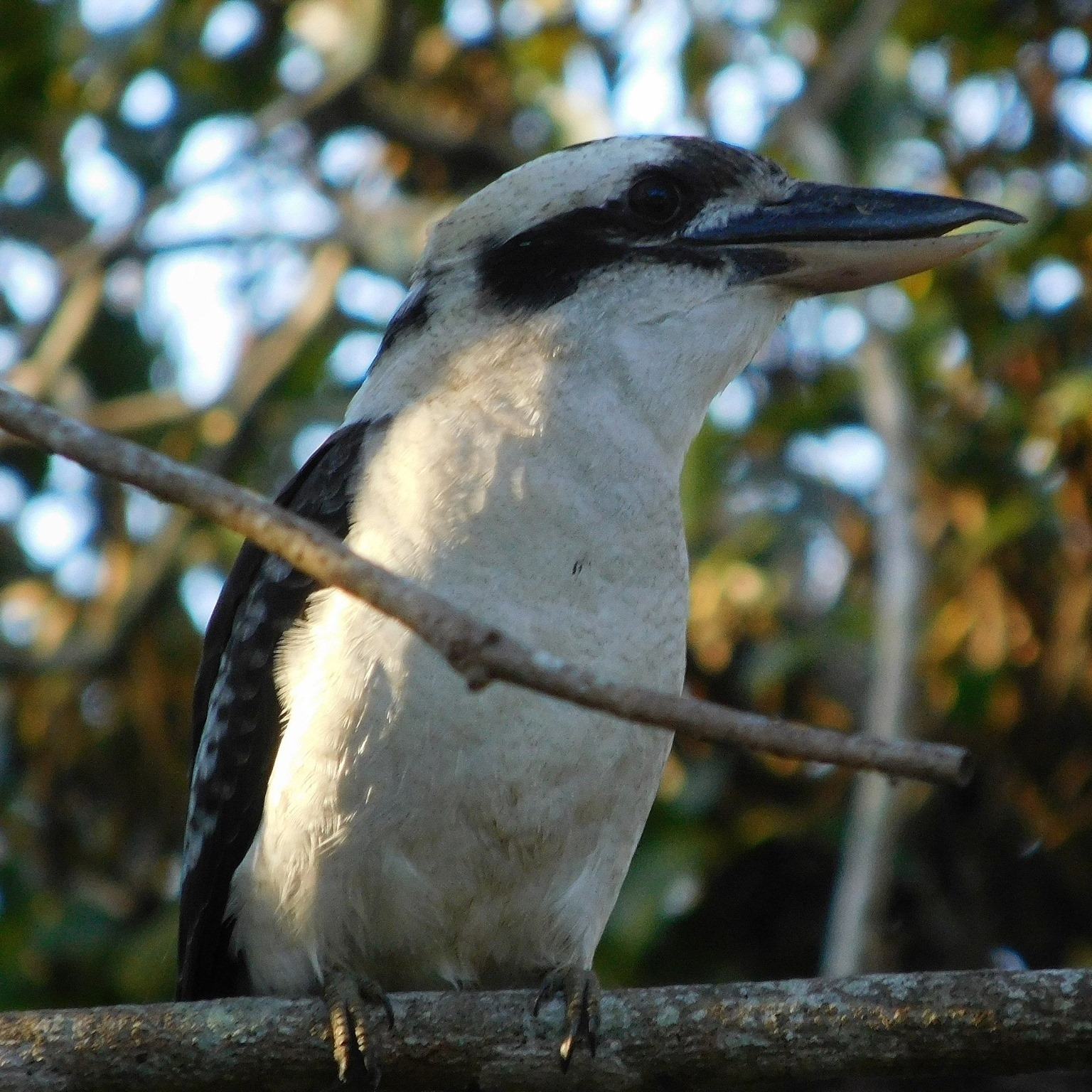 KOOKABURRA AT EASTER 2016
