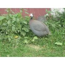 guinea_fowl_007_1_