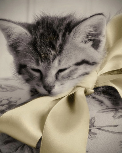 8 soft kitten yellow bow e1450442128800 - Cute Photography of Kittens and Ducklings by Amy Tyler