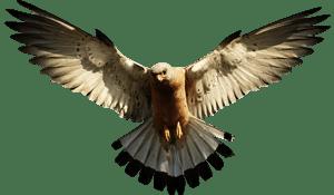 eagle300
