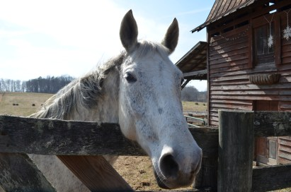 One of the Henry's horses peers over the fence by their barn.
