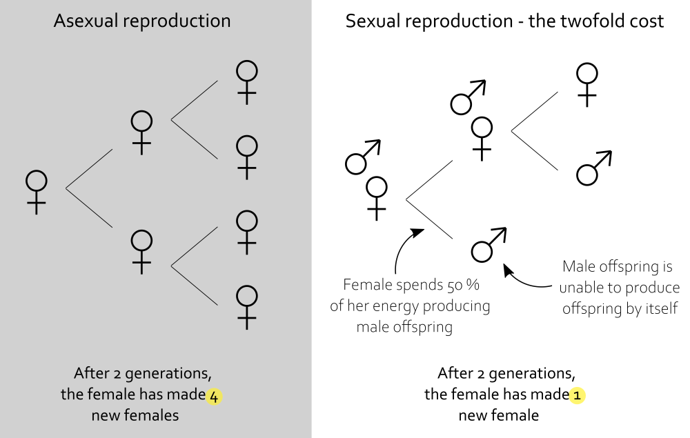 Asexual vs sexual reproduction: twofold cost