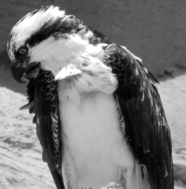 Osprey Perched at Torrey Pines State Beach; Photo by Susan Farese, SJF Communications, 2014