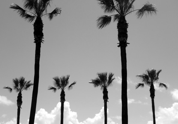 Palms Standing at Attention: Photo by:  Susan Farese, SJF Communications, 2014