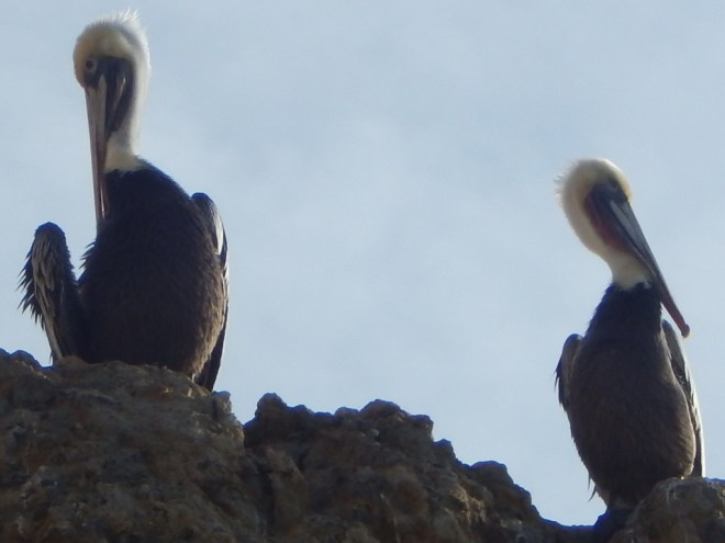 A Pair of Pelicans with Different Opinions