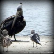 pelicanandbirds