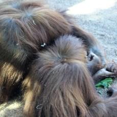 sdzoo.9.25.orangutan4.aunt&niece