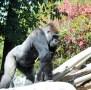 sdzoo.gorilla.6
